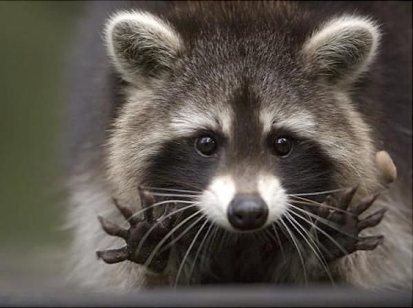 alg-raccoon-peanut-jpg