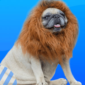 Funny face of OEM pug dog with lion costume. OEM VPN Unlimited